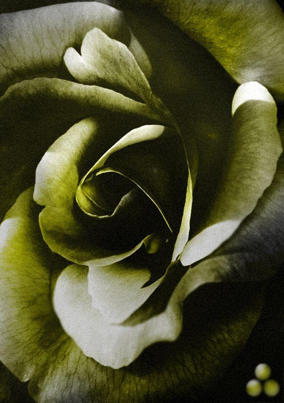 Oliven Green Rose