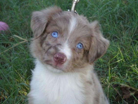 Google Image Result for http://images04.olx.com/ui/10/73/12/1292963949_149067112_1-Pictures-of--Toy-Miniature-Australian-Shepherds.jpg