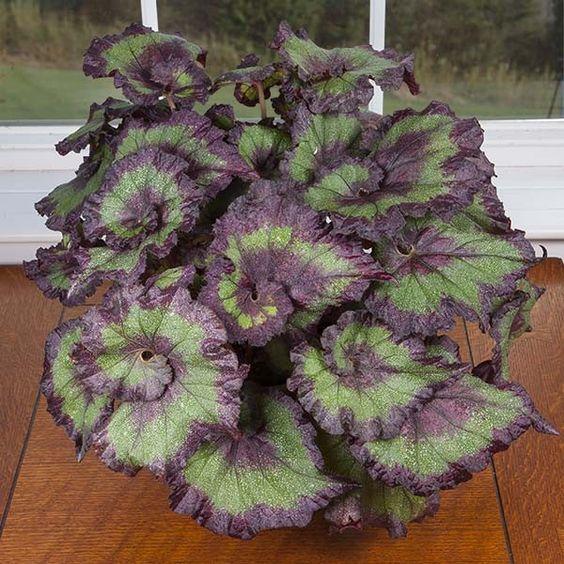 Begonia 'Emerald Wave' (Begonia rex hybrid):
