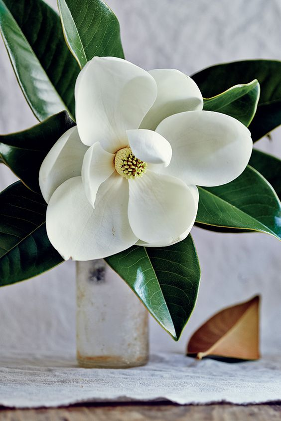 The scent of the magnolia. (Photograph by Peter Frank Edwards) #flowers #floral #magnolia