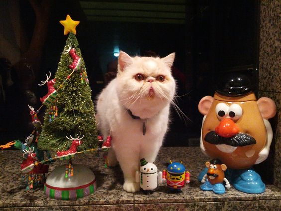Christmas with Mochi.  (exotic shorthair cat)