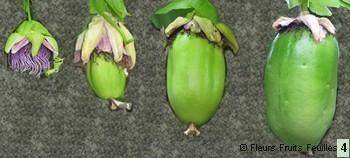 fleurs et fruits barbadine | Barbadine .Passiflore à quatre angles .