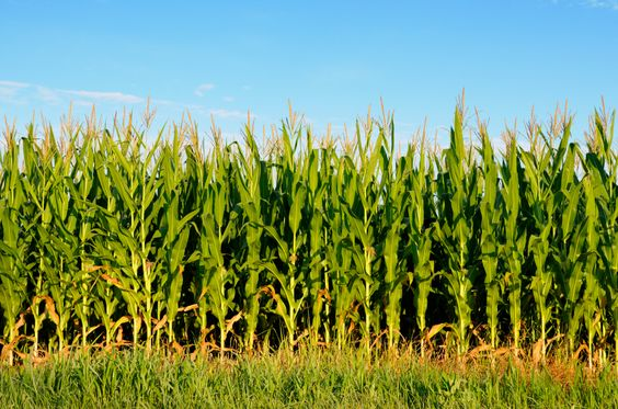 Corn Crop negatively affects the global temperatures, says NSF study - THE WESTSIDE STORY #CornCrop, #Science, #Temperatures