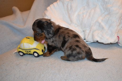Dachshund Puppy For Sale In Benton Ar Adn 58644 On Puppyfinder