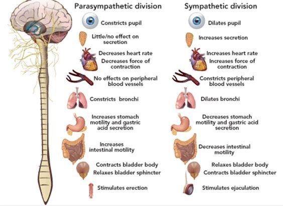 Natural Treatment For Autonomic Nervous System