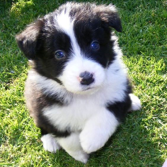 They Re Just Horrible Right Border Collie Collie Collie Puppies