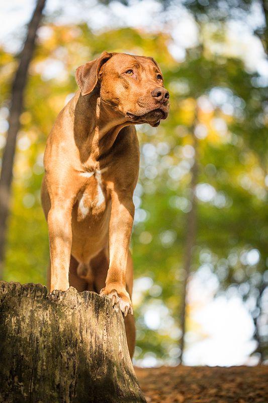 Was Fur Ein Wetter Das Wurde Naturlich Fur Fotos Genutzt Unter Anderem War Ein Ridgeback Heute Mein Motiv Beautiful Dogs Rhodesian Ridgeback Dog Photography