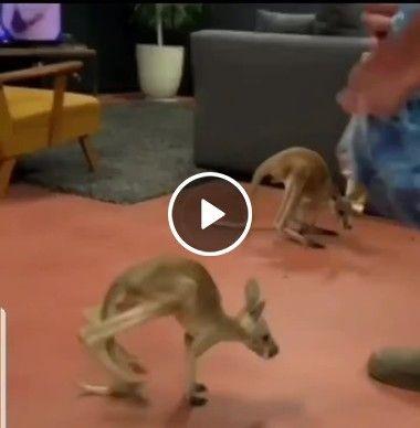 Filhotes de canguru ,lindos.