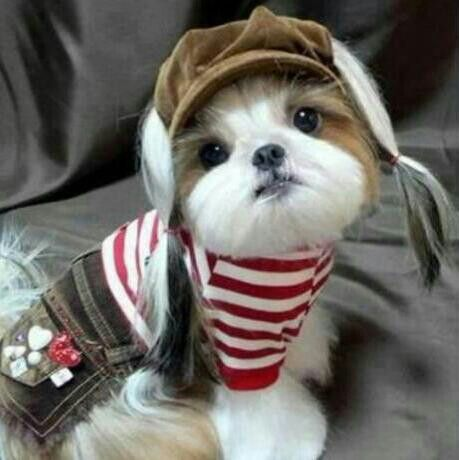 speech on shih tzu Right breed for you shih tzu information including personality, history, grooming, pictures, videos, and the akc breed standard.