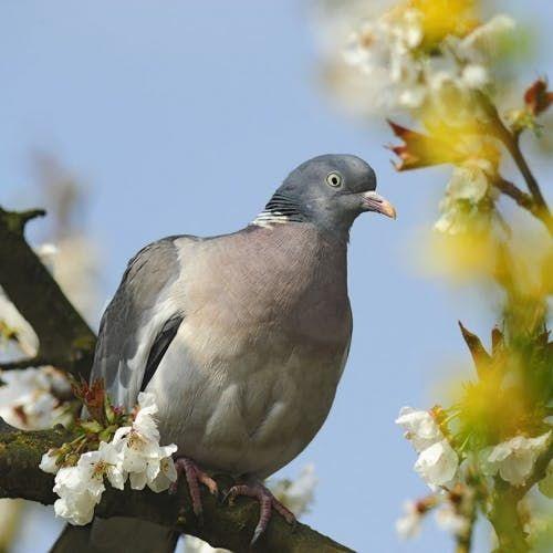 Le Pigeon Ramier Oiseaux Des Jardins Oiseaux Pigeon Ramier