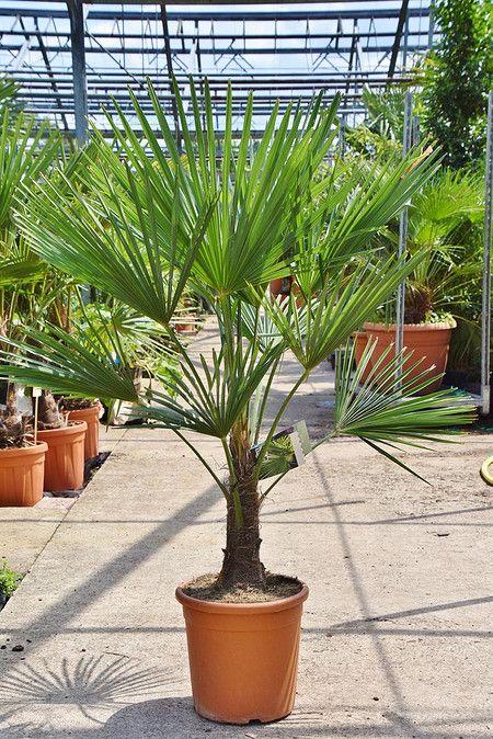 Hanfpalme Im Mein Schoner Garten Shop Jetzt Bestellen Hanfpalme Palme Meinschoenergarten Hanfpalme Pflanzen Fur Zu Hause Kubelpflanzen