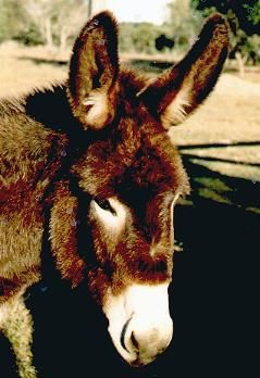 Our donkey - Charlie Brown