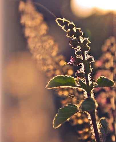 Tulsi is an aromatic plant found throughout the Eastern World tropics. It has hairy stems with green or purple leaves that are strongly scented. In India, Tulsi is a sacred plant for Hindus and is part of many rituals. Photo credit: http://bit.ly/15NHsCc