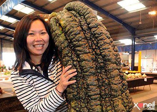 Abobrinha gigante, 65 quilos