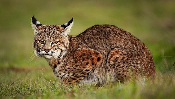 Feeding Russia's and China's Fur Fixation, American Trappers Make a Killing with Bobcat Pelts - rising pelt prices fueled a 50 percent increase in California bobcats killed in 2012 compared with the previous year, resulting in 1,813 bobcats taken from the wild.