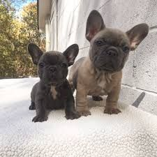 Searching For French Bulldog Breeders With Affordable Price Contact Frenchies And Pugs We Are Leading Certified Com Bulldog Puppies Cute Animals Cute Puppies