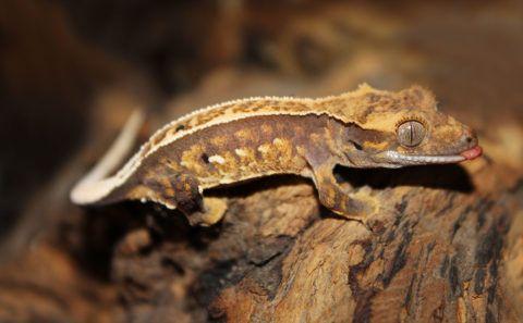 クレステッドゲッコーの特徴と飼育方法を紹介 人気の種類や必要な飼育設備は Woriver クレステッドゲッコー ペット 爬虫類