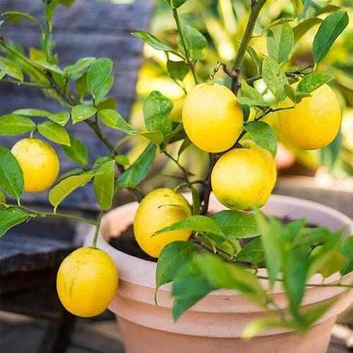 Meyer Lemon Tree Spring Hill Nurseries Meyer Lemon Tree Fruit Tree Garden Citrus Trees