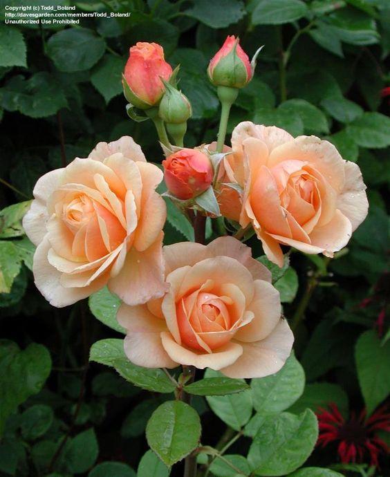 Austin Rose EVELYN CLIMBING ROSE   PlantFiles: Picture #6 of English Rose, Austin Rose 'Evelyn' (Rosa)