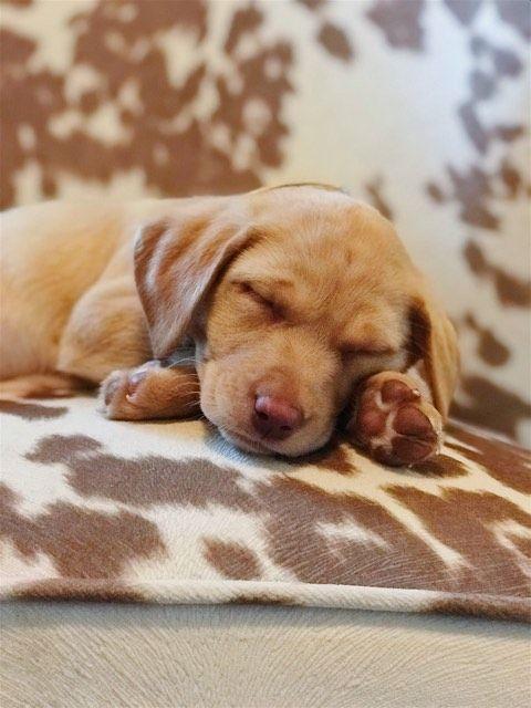 Yellow Female British Labrador Puppy From Ruffwood Labs Labrador Puppies For Sale Labrador Labrador Puppy