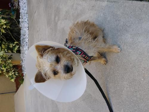 Help This Sweet Pup Find A Home Thx For Sharing Cairn Terrier
