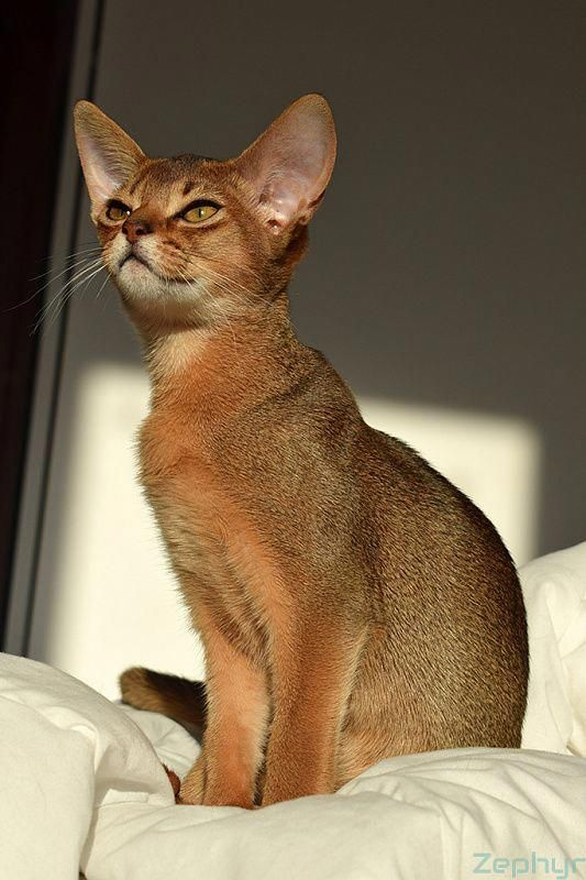 Beautiful Red Abyssinian Cat Beautifulcatspics Abyssinian Cats Beautiful Cats Cat Breeds