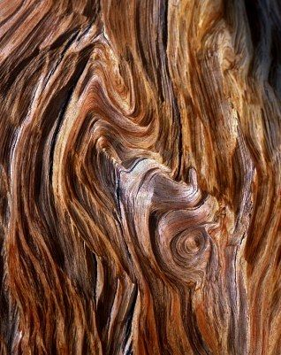 The exposed grain of a Bristlecone Pine Tree, located in the Patriarch Grove section of the Inyo National Forest, California.: