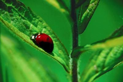 What Is the Life Span of a Ladybug