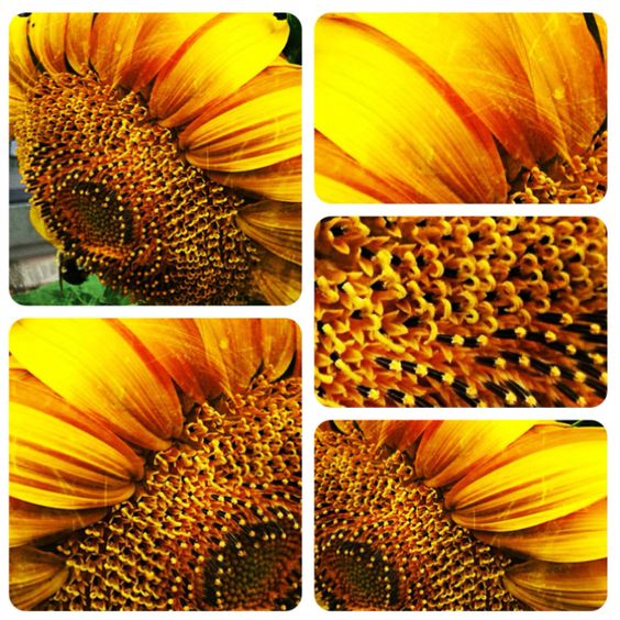 My favorite....SUNFLOWERS :)