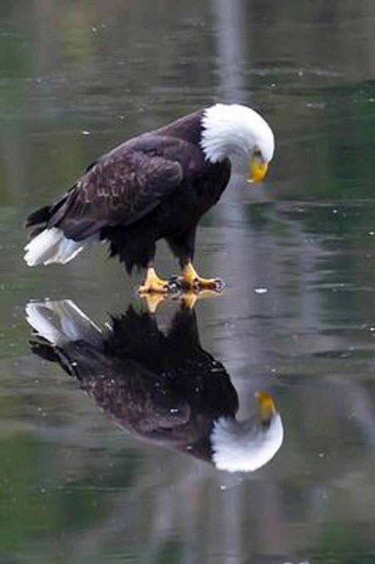 Eagle standing on ice with it's reflection