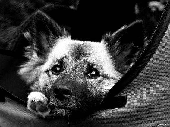 Skíma 2 http://fc-foto.de/33961430 Icelandic Sheepdog