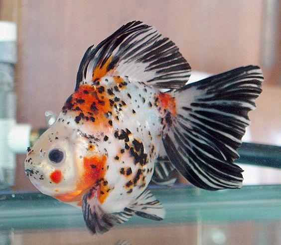 Dotted Shubunkin Bristol Goldfish LOVES Saki-Hikari Fancy ...