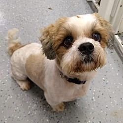 Pin By T Press On Shih Tzus Up For Adoption Shih Tzu Pet