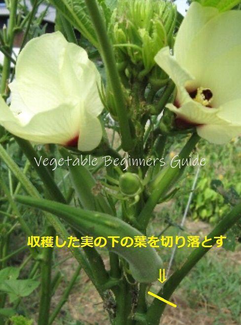 オクラの収穫適期 オクラ 栽培 オクラ 花 栽培