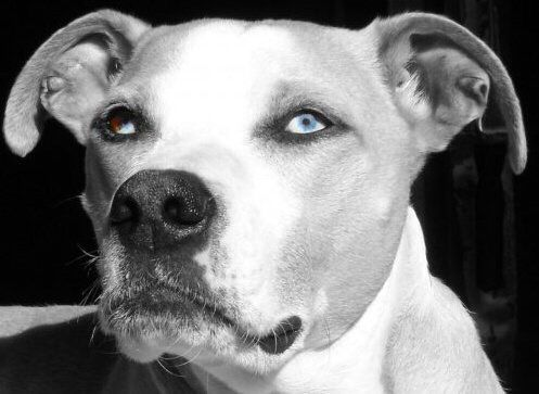 Mr Blue. The only blonde and white pit I've ever seen with Cleopatra  eyeliner and blue eyes. Best. Dog. Ever. And most beautiful.