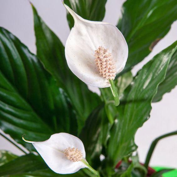 Kwiaty doniczkowe, które produkują w nocy tlen - idealne do sypialni: storczyk…