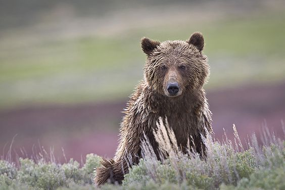 Grizzly Bear at Yellowstone National Park, Wyoming_ Western USA