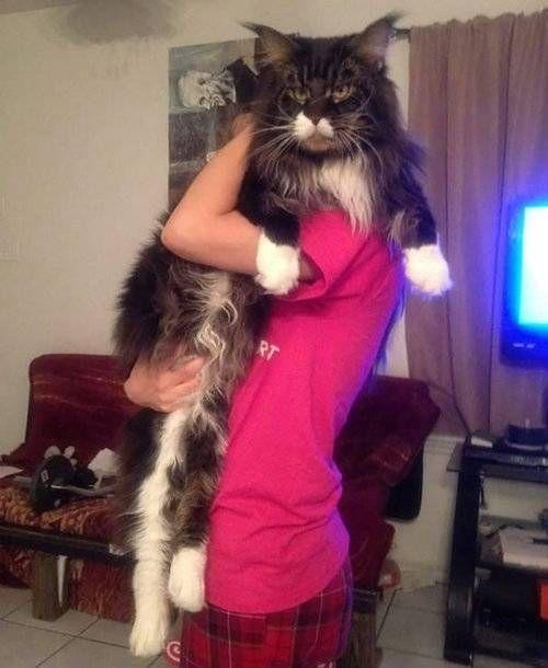 最大の猫「メインクーン」がどれだけ大きいのか実感できる写真
