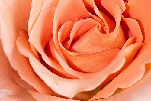 Peach Rose: