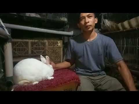 Beternak Kelinci Kelinci Anggora