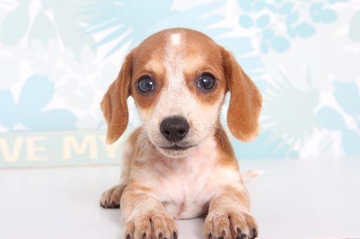 Dachshund Puppy For Sale In Naples Fl Adn 67191 On Puppyfinder
