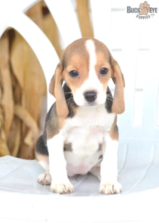 Beagle Puppies For Sale In Ohio Beagle Puppy