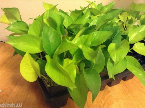 Neon philodendron lime green plant indoor plants for Indoor green plants images
