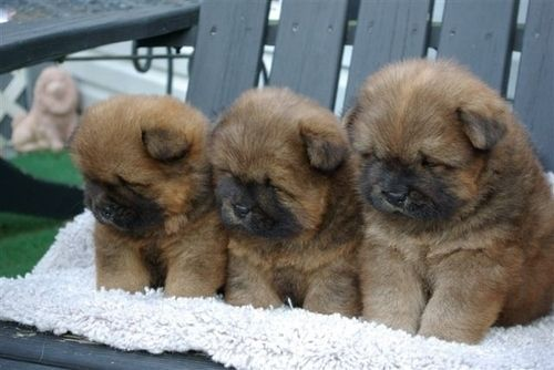 Chow Chow Cute Animals Pup Puppies