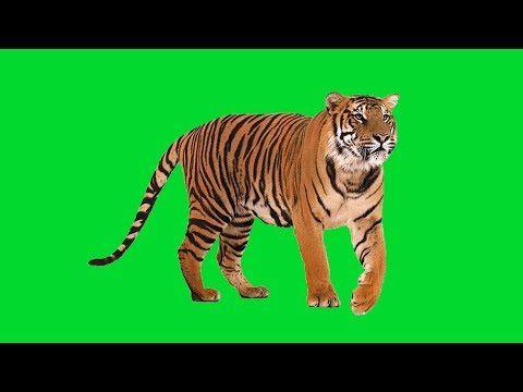 Tiger Green Screen Youtube