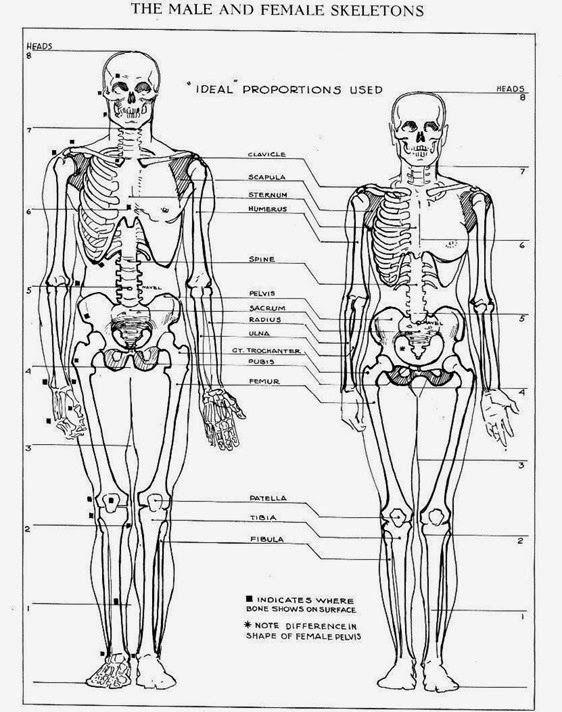 male and female skeleton | figure sculpture studies - female, Skeleton