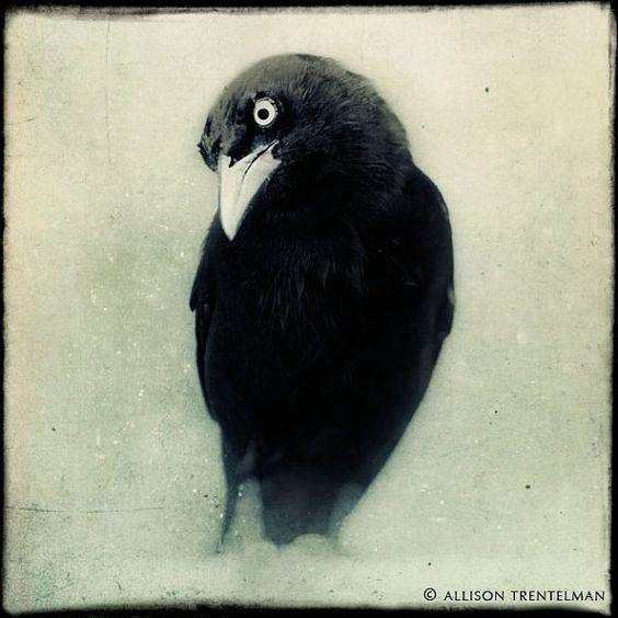 Raven Crow Black and White Photo