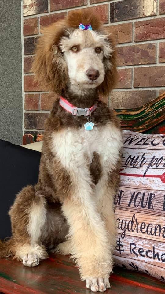Poppy Silver Beige Phantom Standard Poodle 5 Months Old Poodle