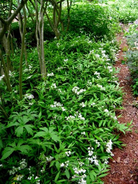 Deutzia gracilis 39 nikko 39 low growing deciduous shrub for for Low maintenance bushes for shade