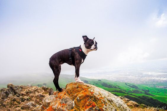 Ginger the Explorer https://www.facebook.com/pages/The-Boston-Terrier/83311290987?ref=hl